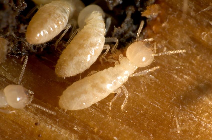Des termites